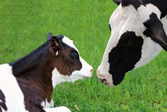 Holstein Cow bonding with her new baby calf in meadow stock photo