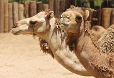A Close Up of the Heads of Two Dromedary Camels Royalty Free Stock Photo