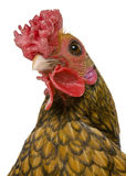 Close-up headshot of Golden Sebright rooster Royalty Free Stock Photography