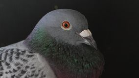 Close up headshot of homing pigeon in home loft stock video
