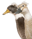 Close-up headshot of Male and Female Crested Ducks Stock Photography
