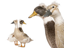 Close-up headshot of Male and Female Crested Ducks Royalty Free Stock Photos