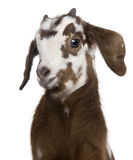 Close-up headshot Rove goat kid, 3 weeks old. In front of white background Royalty Free Stock Image