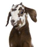 Close-up headshot Rove goat kid, 3 weeks old Royalty Free Stock Image