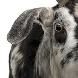 Close-up headshot of Rove goat, 5 years old royalty free stock photography