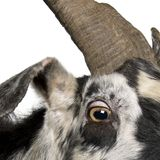 Close-up headshot of Rove goat, 5 years old royalty free stock image