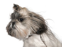 Close-up headshot of Shih tzu Stock Photos