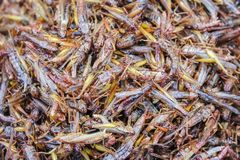 Healthy exotic food fried insects in local street market in Thailand , Grasshopper stock image