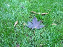 Close up healthy golf overgrown lawn with purple autumn leafs stock image