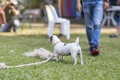 Close up healthy and happy back view of white Dog during plays tug with rope toy on green grass at garden.  stock image