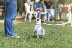 Close up healthy and happy back view of white Dog during plays tug with rope toy on green grass at garden.  stock images
