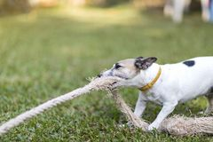 Close up healthy and happy white Dog plays tug with rope toy on green grass at garden.  stock photography