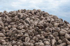 Close-up of a heap of sugar beets Stock Photos