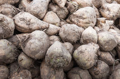 Close-up of a heap of sugar beets Royalty Free Stock Images
