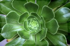 big rosette aeonium arboreum royalty free stock photos