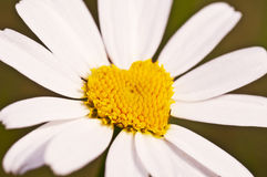 Close up of a heart daisy Royalty Free Stock Images