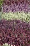 Close-up of Heather Plants Stock Photo