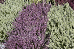 Close-up of Heather Plants Royalty Free Stock Photography