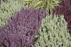 Close-up of Heather Plants Royalty Free Stock Image