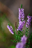 Close-up of heathers Royalty Free Stock Images