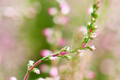 Close-up of heathers, Calluna Vulgaris Stock Photos