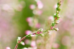 Close-up of heathers, Calluna Vulgaris. In pink, taken with a macro lens Stock Photos