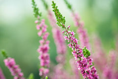 Close-up of heathers, Calluna Vulgaris. In pink, taken with a macro lens Stock Photography