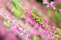Close-up of heathers, Calluna Vulgaris Stock Image