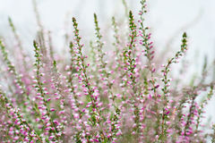 Close-up of heathers, Calluna Vulgaris Royalty Free Stock Photo