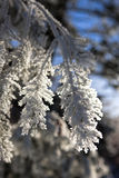 Close up of heavy frost on tree. Royalty Free Stock Image