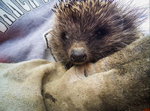 Close-up of a hedgehog Stock Photography
