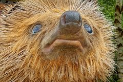 Close-up of Hedgehog Face Royalty Free Stock Photography
