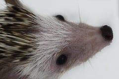 Close-up of Hedgehog Royalty Free Stock Photos