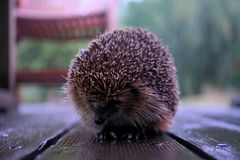 Close up of hedgehog royalty free stock photo