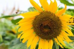 Close-up Heldere gele zonnebloemen op groene achtergrond Stock Afbeelding