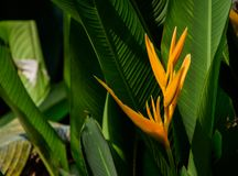 Close up of Heliconia royalty free stock image