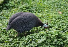 Helmeted guineafowl. Close up of helmeted guineafowl Stock Image