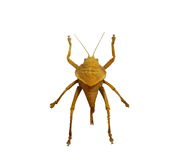 Close up Hemiptera , insect isolated on white Royalty Free Stock Photos