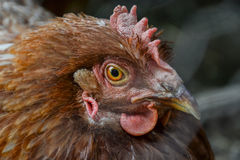 Close up of hen's head standing on the rural farm yard. Chicken stand on barn yard Stock Images