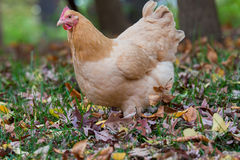 Close up of hen in woods Royalty Free Stock Photos