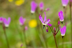 Close up Henderson`s Shooting Star Primula hendersonii on a field of wildflowers background, California royalty free stock photos