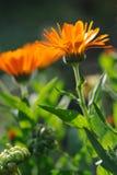 Close up herbal calendula Stock Photos