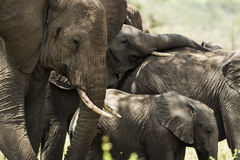 Close-up of a herd of elephants, Serengeti, Tanzania Stock Image