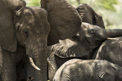 Close-up of a herd of elephants, Serengeti, Tanzania Royalty Free Stock Images