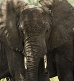 Close-up of a herd of elephants, Serengeti, Tanzania Royalty Free Stock Photography