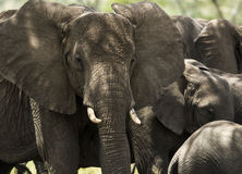 Close-up of a herd of elephants, Serengeti, Tanzania Stock Images