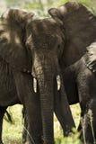 Close-up of a herd of elephants, Serengeti, Tanzania Royalty Free Stock Image