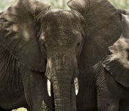 Close-up of a herd of elephants, Serengeti, Tanzania Stock Photography