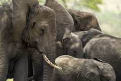 Close-up of a herd of elephants, Serengeti, Tanzania stock photography