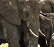 Close-up of a herd of elephants, Serengeti, Tanzania Royalty Free Stock Photos
